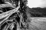Driftwood-stump-on-a-secluded-beach